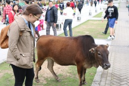 Saying hi to the sacred cow.