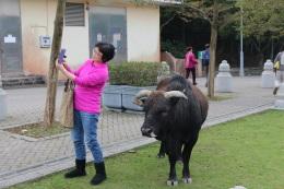 Sacred cow selfie.