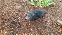 A REAL Tasmanian Devil up close!!