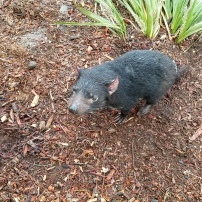 A REAL Tasmanian Devil up close!!