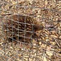 This is our friend Randall (named by the Refuge). He's a short-beaked echidna. Hi, Randall!