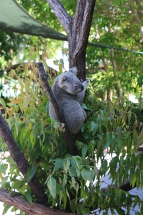 Hanging out at the eucalyptus buffet