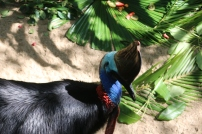 Cassowary - deadliest bird in Australia!