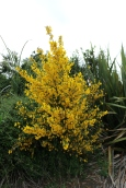These gorgeous yellow bushes were all over the countryside. Anyone know the name?