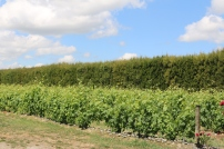 Schubert vines.